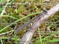 206a-bruine-winterjuffer