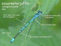 305a-azuurwaterjuffer
