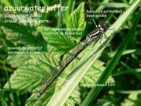 305b-azuurwaterjuffer