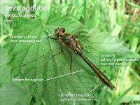 801a-smaragdlibel