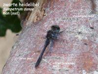 912b-zwarte-heidelibel