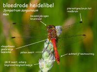 914a-bloedrode-heidelibel
