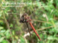 918a-bruinrode-heidelibel