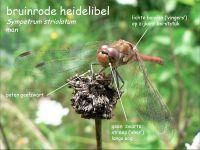 918b-bruinrode-heidelibel