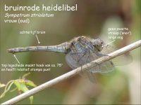 918c-bruinrode-heidelibel