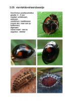 305-viervleklieveheersbeestje