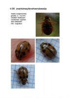 408-zwartstreeplieveheersbeestje