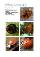 418-Aziatisch-lieveheersbeestje-1