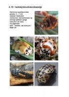 419-harlekijnlieveheersbeestje