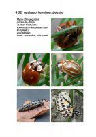 422-gestreept-lieveheersbeestje