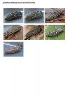 405-bruin-lieveheersbeestje-larve