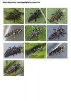 407-tweestippelig-lieveheersbeestje-larve
