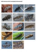 409-tienstippelig-lieveheersbeestje-larve