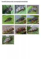 413-zevenstippelig-lieveheersbeestje-larve