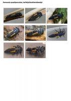 419-harlekijnlieveheersbeestje-larve