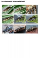 420-achttienvleklieveheersbeestje-larve