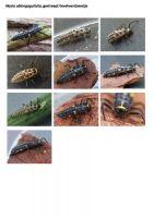 422-gestreept-lieveheersbeestje-larve