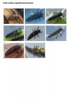426-oogvleklieveheersbeestje-larve