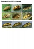430-citroenlieveheersbeestje-larve
