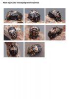 407-tweestippelig-lieveheersbeestje-pop