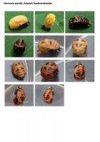 418-Aziatisch-lieveheersbeestje-pop