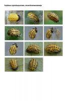 430-citroenlieveheersbeestje-pop