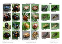 Zoekkaart-lieveheersbeestjes-b